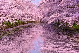 桜満開の弘前公園[02335008230]の写真素材・イラスト素材|アマナイメージズ