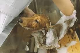 動画でわかる】犬の全身シャンプーの手順をプロが解説。コツを覚えて愛犬の自宅シャンプーに挑戦しよう!|ライオン商事株式会社